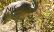 Grus canadensis -George C Reifel Migratory Bird Sanctuary, British Columbia, Canada