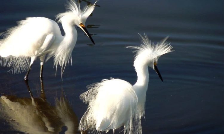 snowy egretsSnowy Egrets at J.N. Ding Darling National Wildlife Refuge. Photo by USFWS